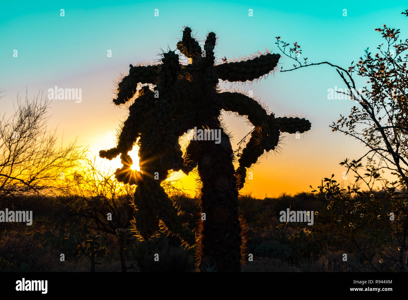 Silhouette of a Cholla Cactus at sunrise or sunset in the Sonoran Desert in Saguaro National Park in Tuscon, Arizona, USA - Stock Image
