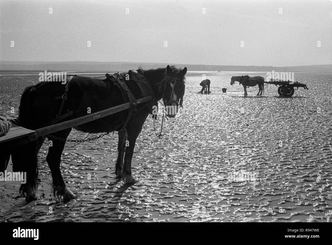 Cockle picking on Llanrhidian Sands, near Penclawdd, West Glamorgan, South Wales, 1973 - Stock Image