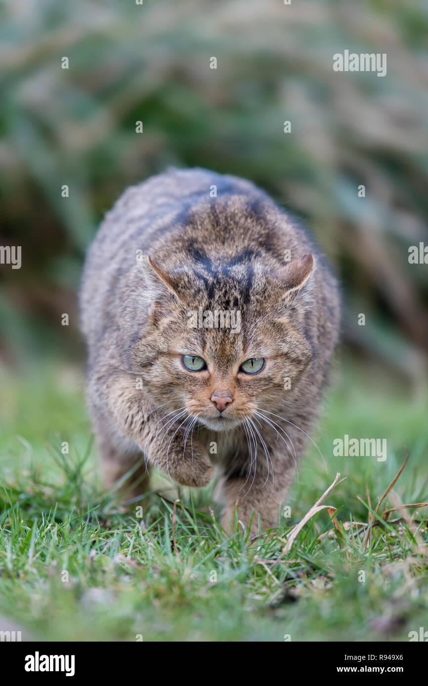 Europaeische Wildkatze ,Felis silvestris, European Wildcat - Stock Image