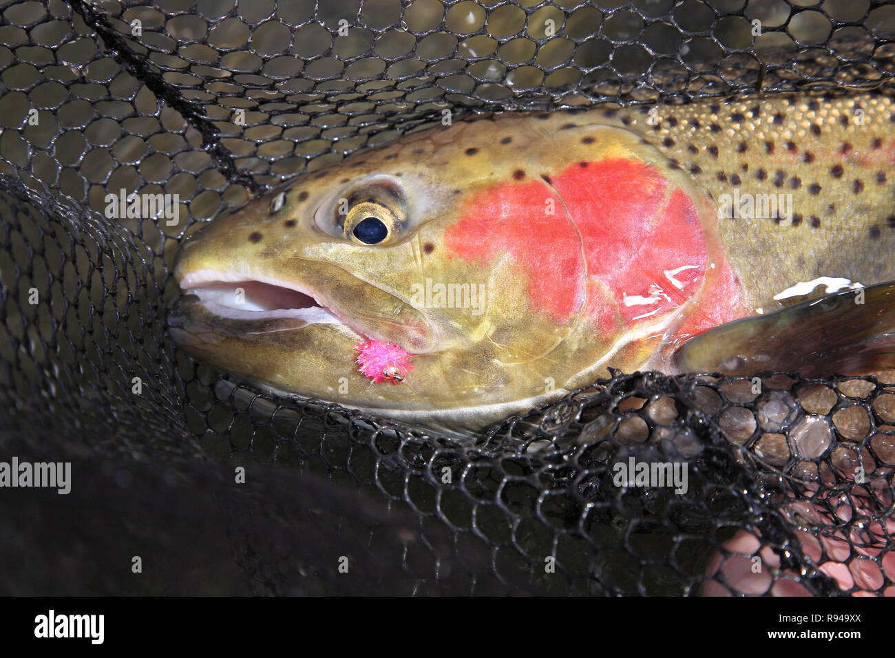 Steelhead trout with pink lure in mouth closeup - Stock Image