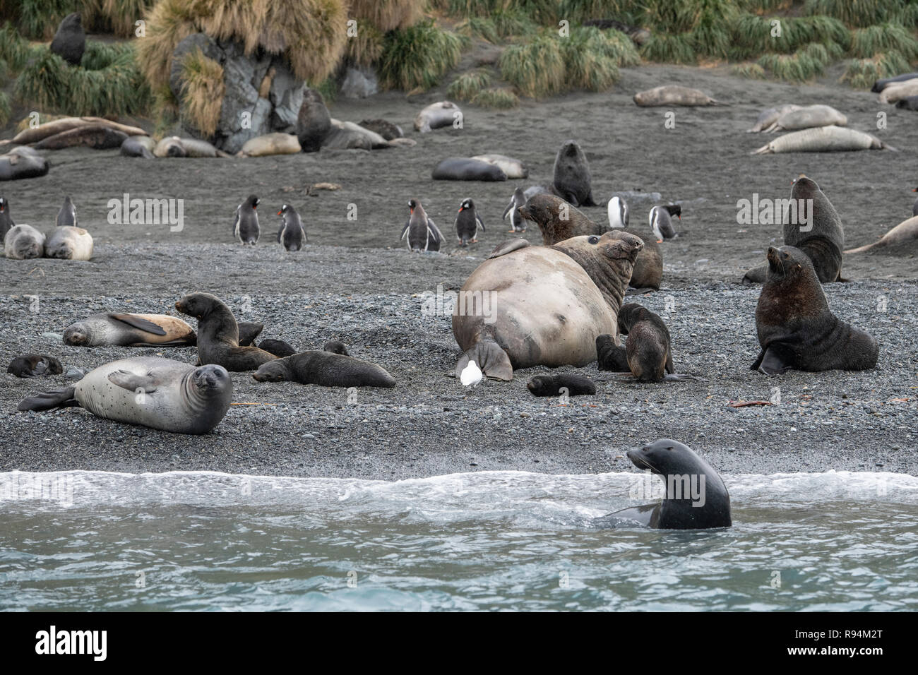 South Georgia, Cooper Bay. Abundant wildlife along the rocky coastline showing a variety of species, including Antarctic fur seals with pups. - Stock Image