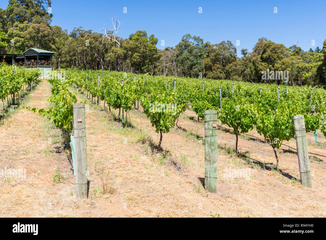 Grapevines at Fairbrossen Winery and Cafe in the Bickley Valley, Carmel, Western Australia - Stock Image