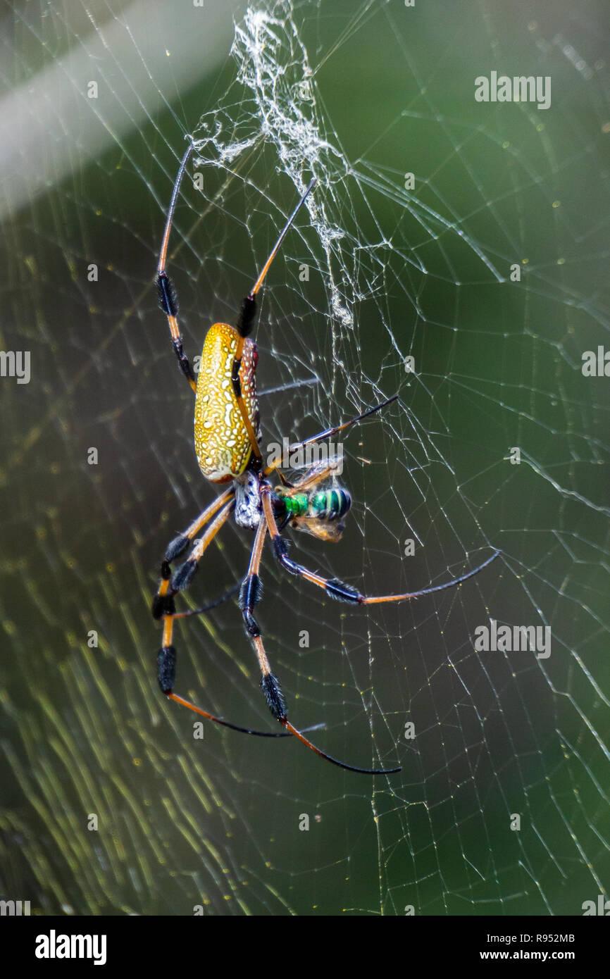 Golden Silk Orbweaver spider (Nephila clavipes) feeding on a sweat bee caught in its web at High Ridge Scrub Natural Area, Boynton Beach, Florida, USA - Stock Image