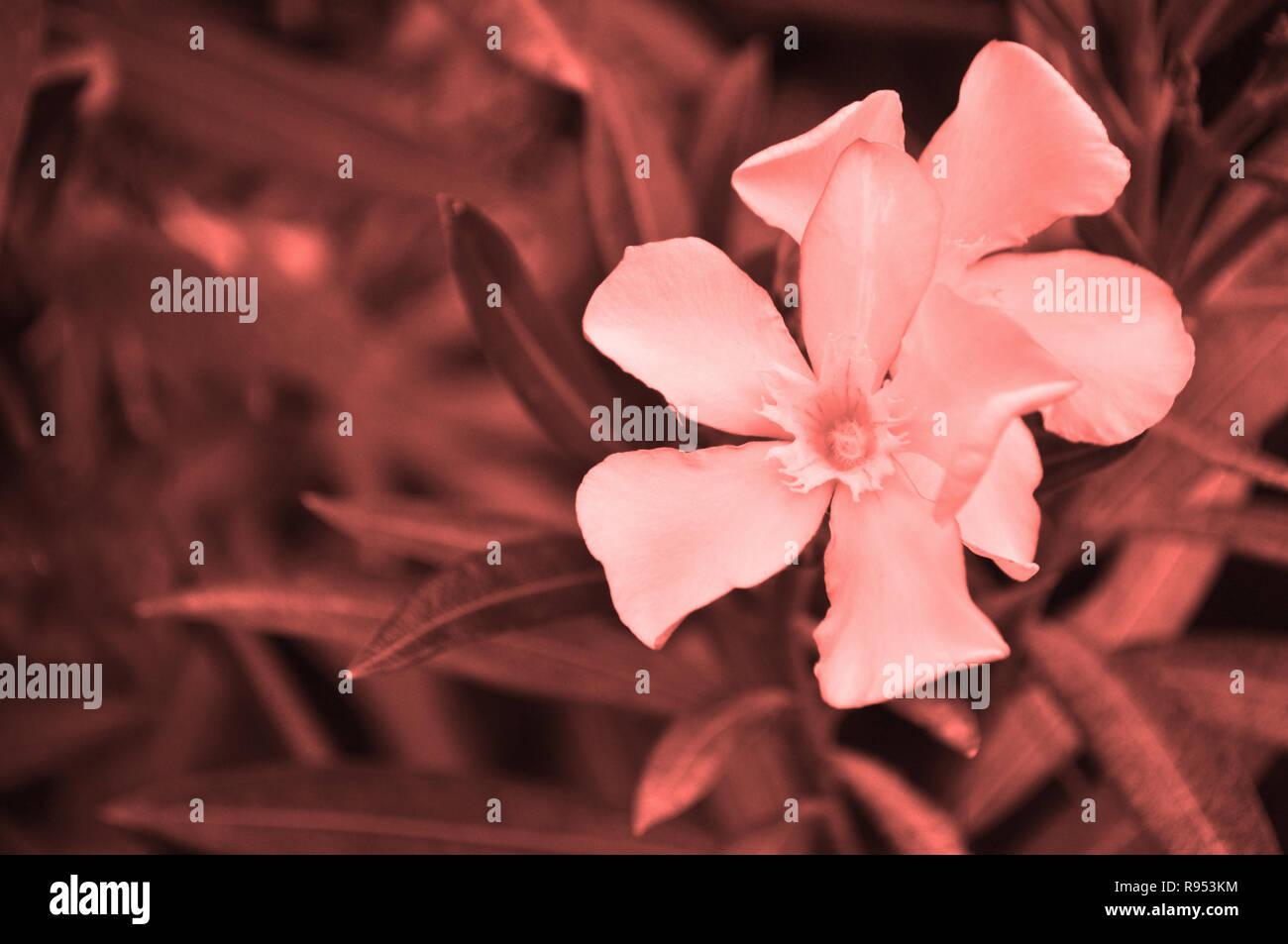 beautiful coral color oleander flowers on a bush color of 2019 concept R953KM