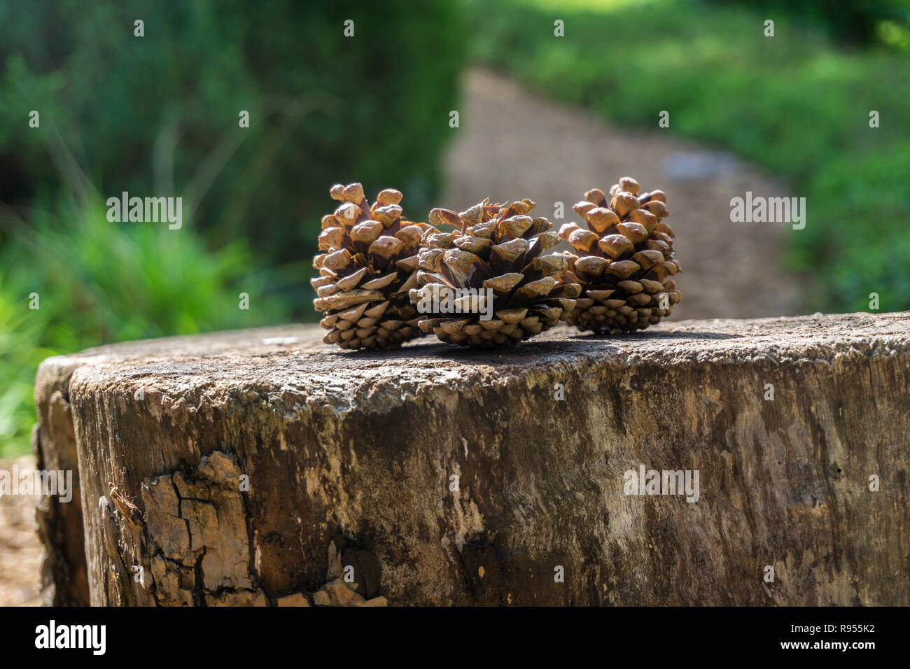 Close-up of a brown Pine cone on the forest floor. - Stock Image