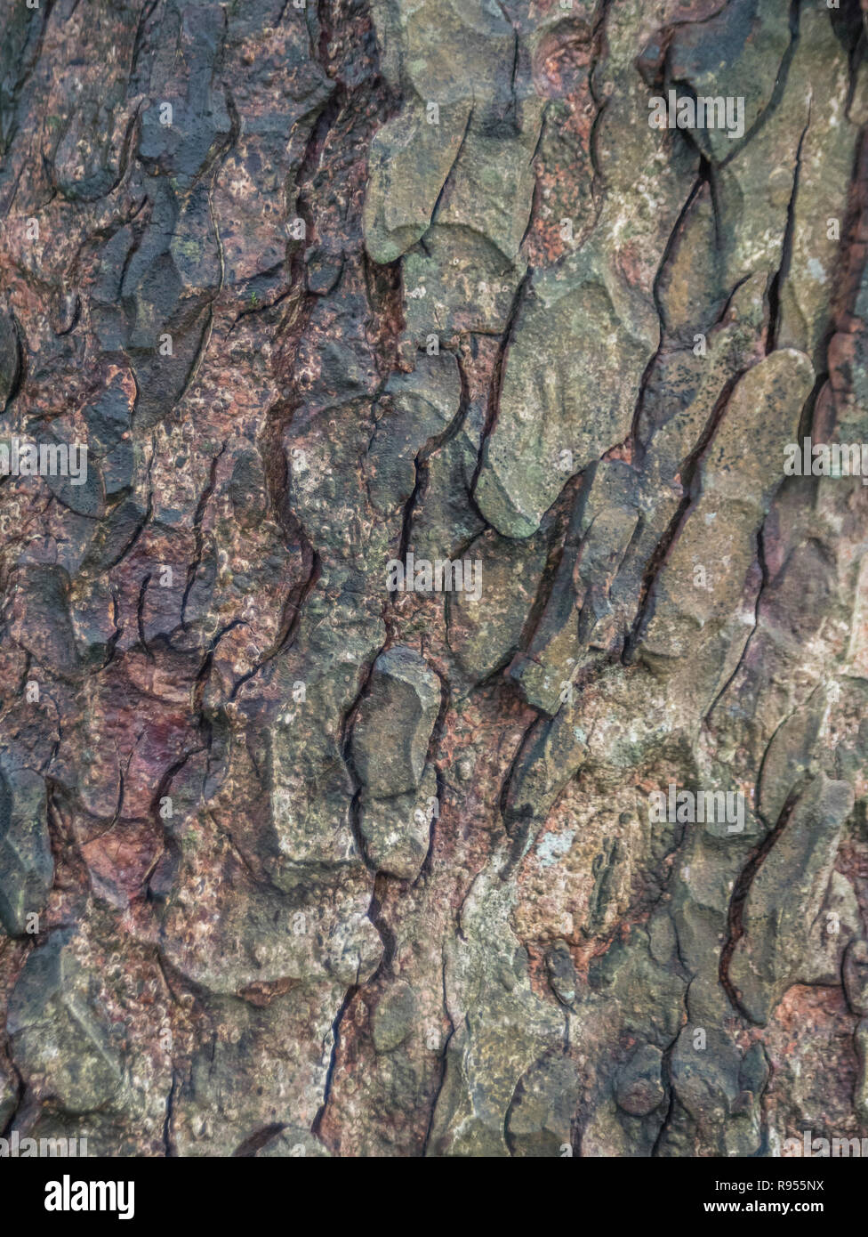 Close detail of the autumnal bark (after rain shower) of a Horse-Chestnut / Aesculus hippocastanum tree trunk. Tree bark close up. - Stock Image