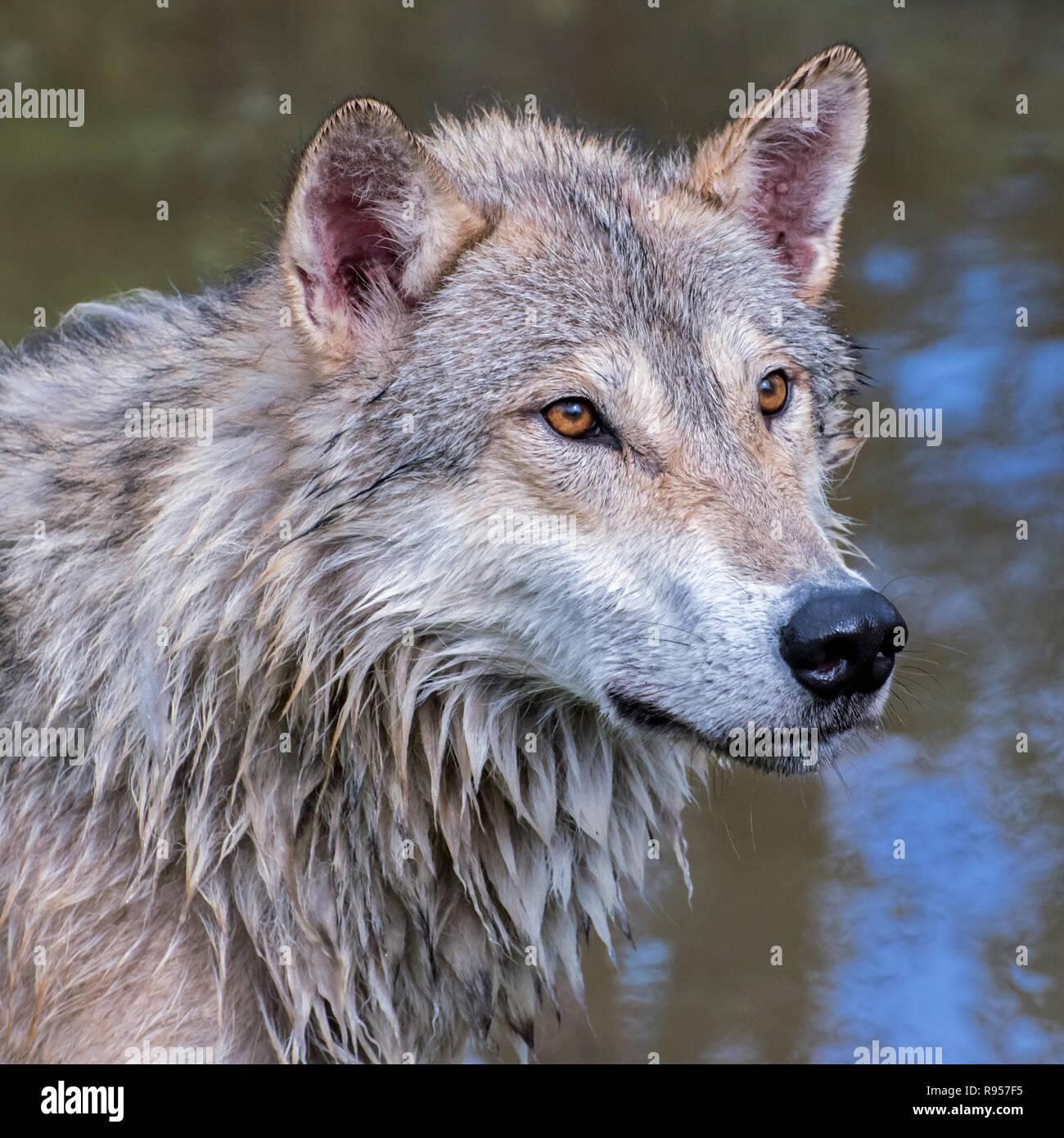 Portrait of a Wet Tundra Wolf Stock Photo