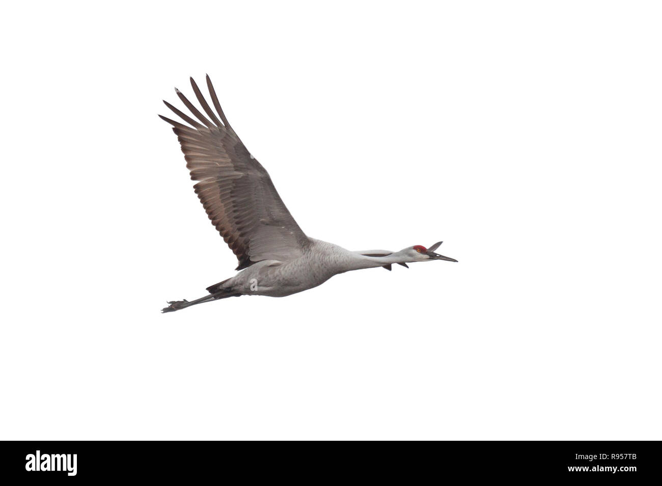 A Sandhill crane soars across a white background with its wings wide open. - Stock Image