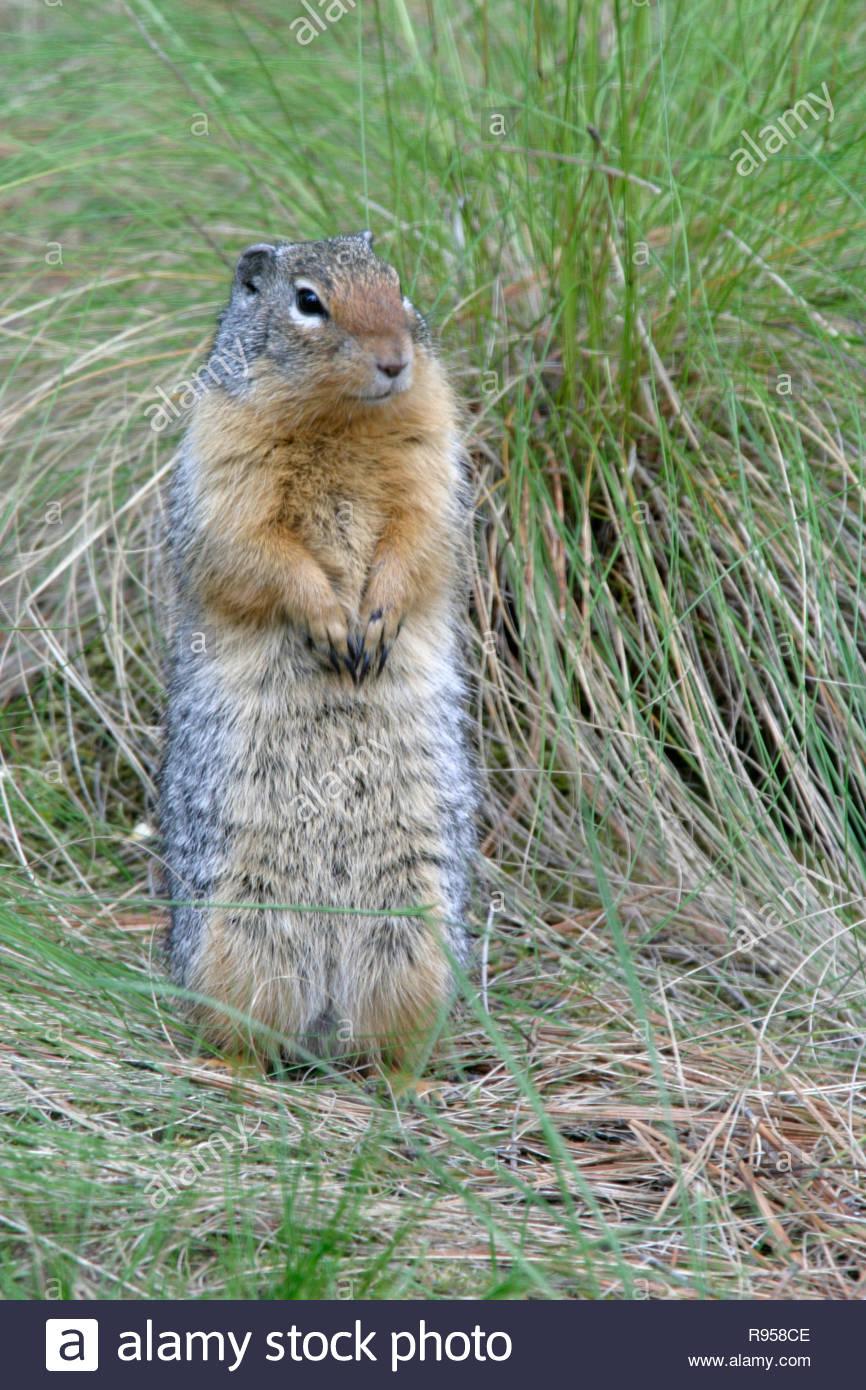 Columbian ground squirrel (Urocitellus columbianus), Fort Spokane, Lake Roosevelt National Recreation Area, Washington, USA Stock Photo