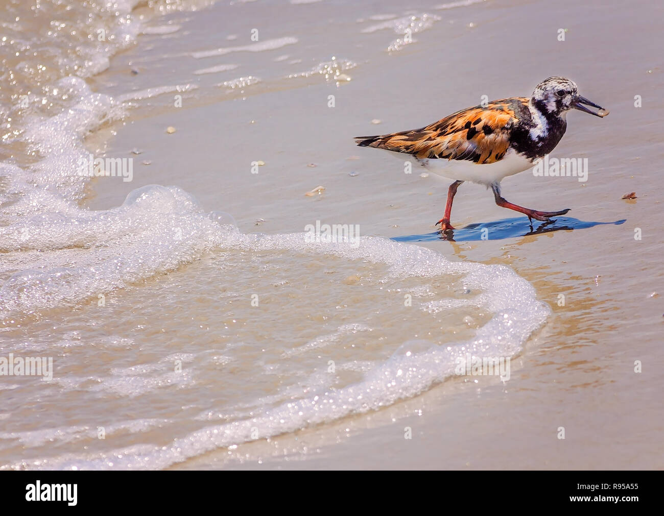 A ruddy turnstone, a type of sandpiper, carries a seashell plucked from the surf, Aug. 23, 2018, on Mustang Island in Port Aransas, Texas. - Stock Image