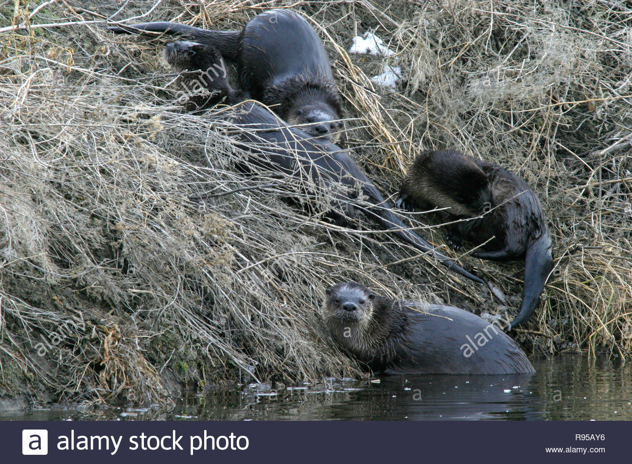 North American river otters (Lontra canadensis), Lower Klamath National Wildlife Refuge, California, USA - Stock Image