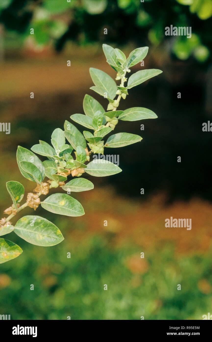 ashwagandha, herbal Herb product, Ayurvedic medicinal plant Stock Photo