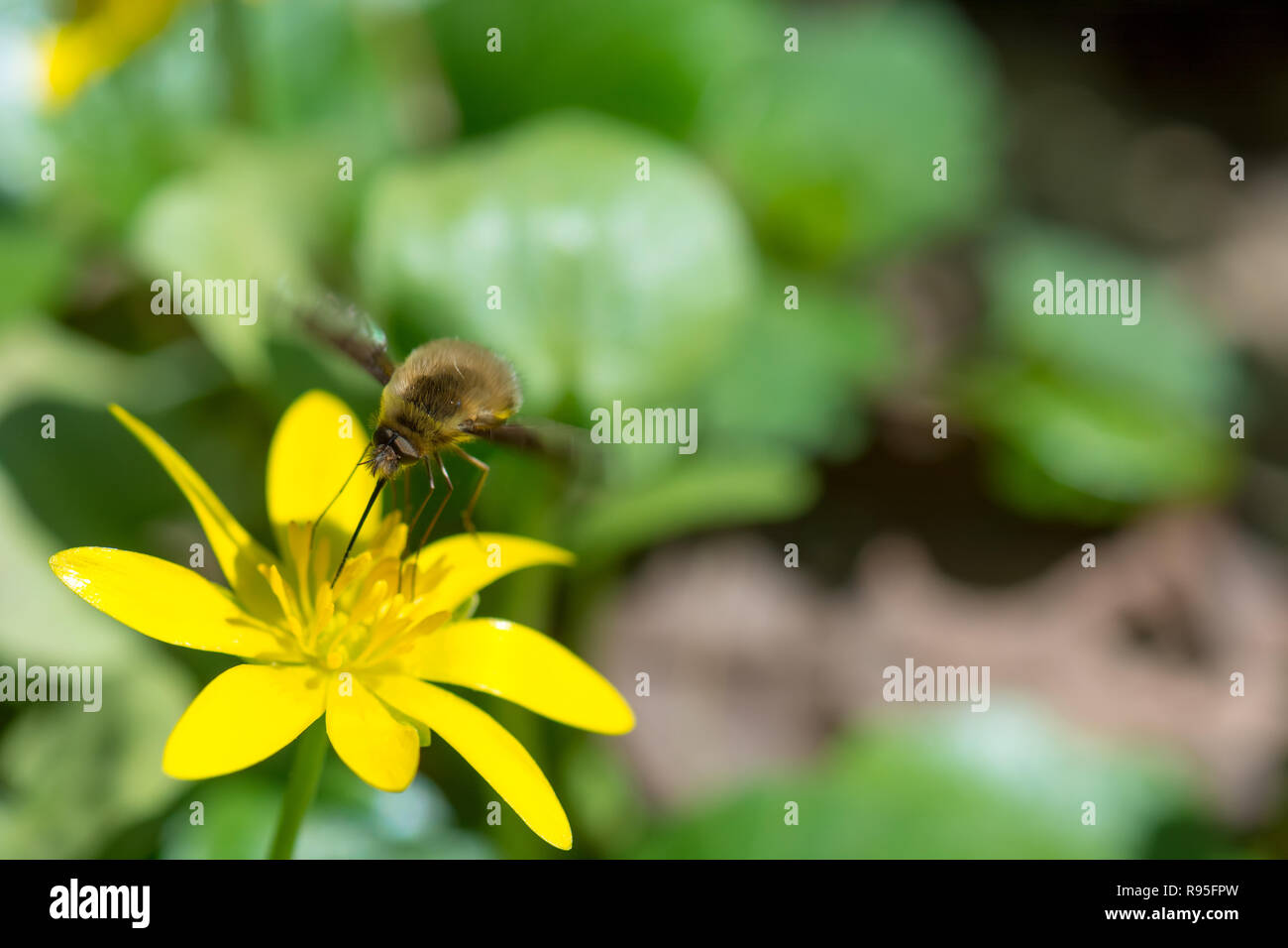 Strange insect feeding on nectar in yellow flower, with huge legs and proboscis. Animal is sitting collecting in sunny summer sunflower. - Stock Image