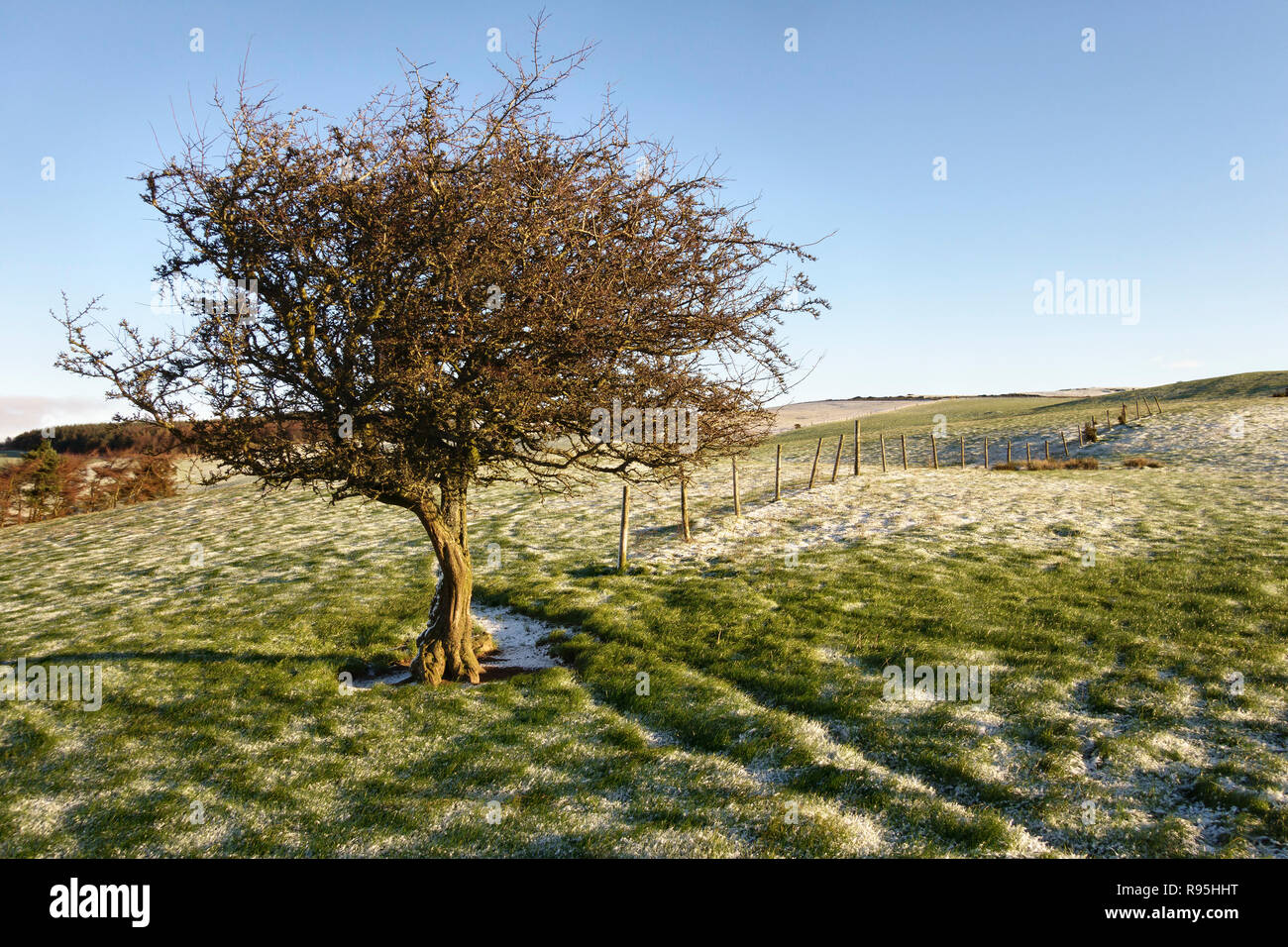 Powys, UK, winter. A solitary hawthorn tree (crataegus) on Stonewall Hill in the border country between England and Wales. - Stock Image