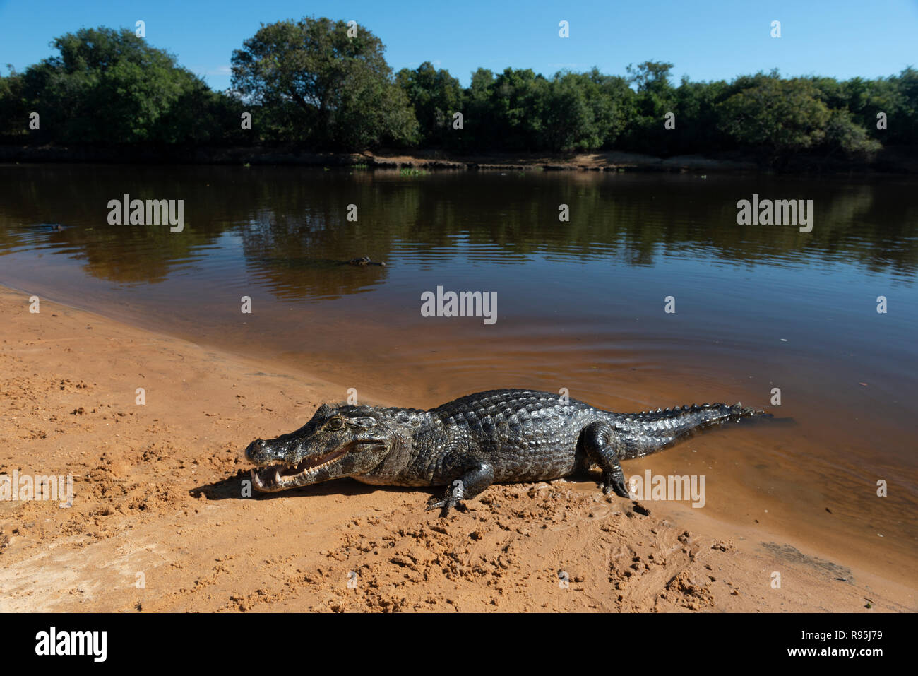 A Caiman  sunning itself on a beach in South Pantanal - Stock Image