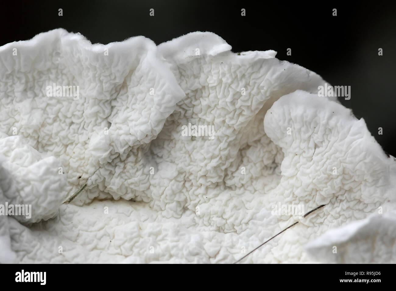 White soft texture of a fungus called Plicatura nivea - Stock Image