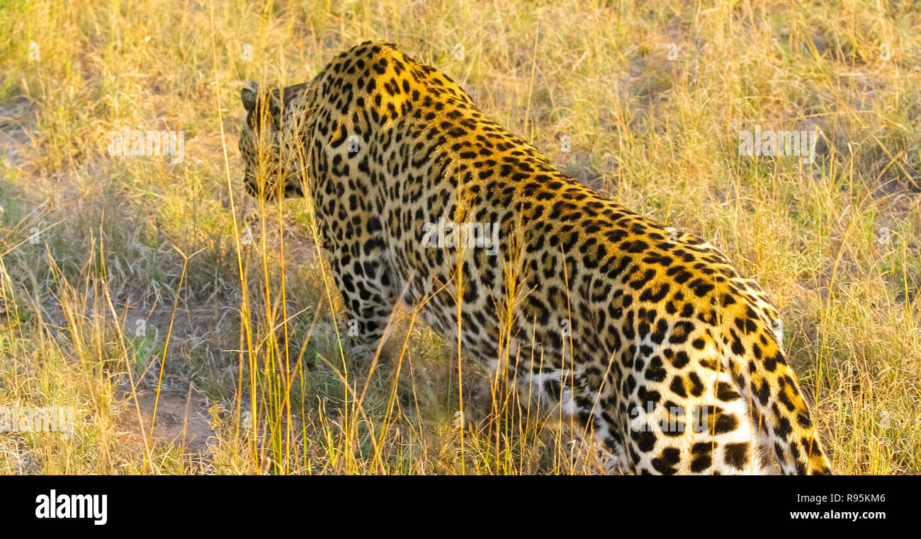 Wildlife Camouflaged Wild Cat Lying In The Grass Hunting Prey On The Savannah Conservation Of Endangered Animals Protected Species Of Africa Alamy Camouflaged Wild Cat Lying In The Grass Hunting Prey On The
