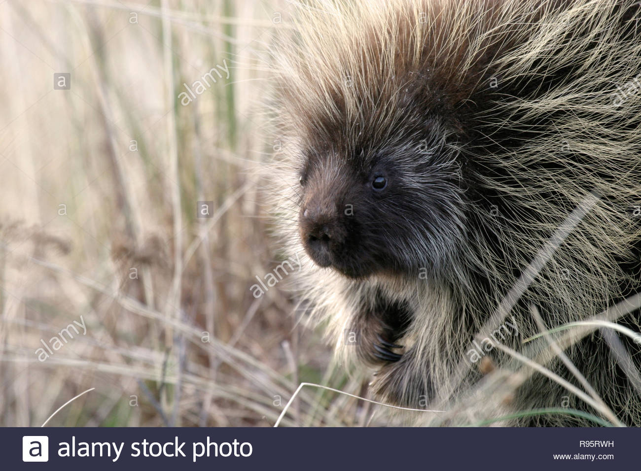 North American porcupine (Erethizon dorsatum), Ziolkouski Beach county park, Oregon, USA Stock Photo