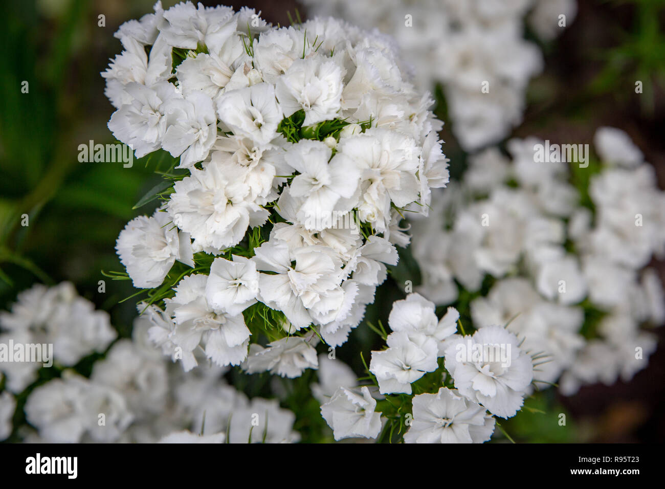 Title White sweet william growing in a garden bed, provides a wonderful fragrance - Stock Image