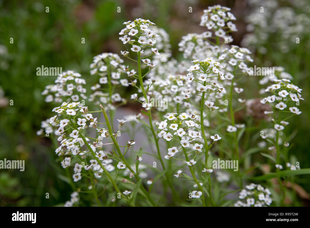 Alyssum grows in an organic garden as a companion plant and is beneficial to insects - Stock Image