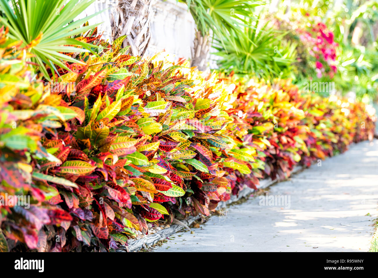 Vibrant Codiaeum Variegatum Petra Croton Variegated Plant Leaf Leaves Landscaped Garden Landscaping Along Wall Outside Outdoor Street Outdoors Stock Photo Alamy