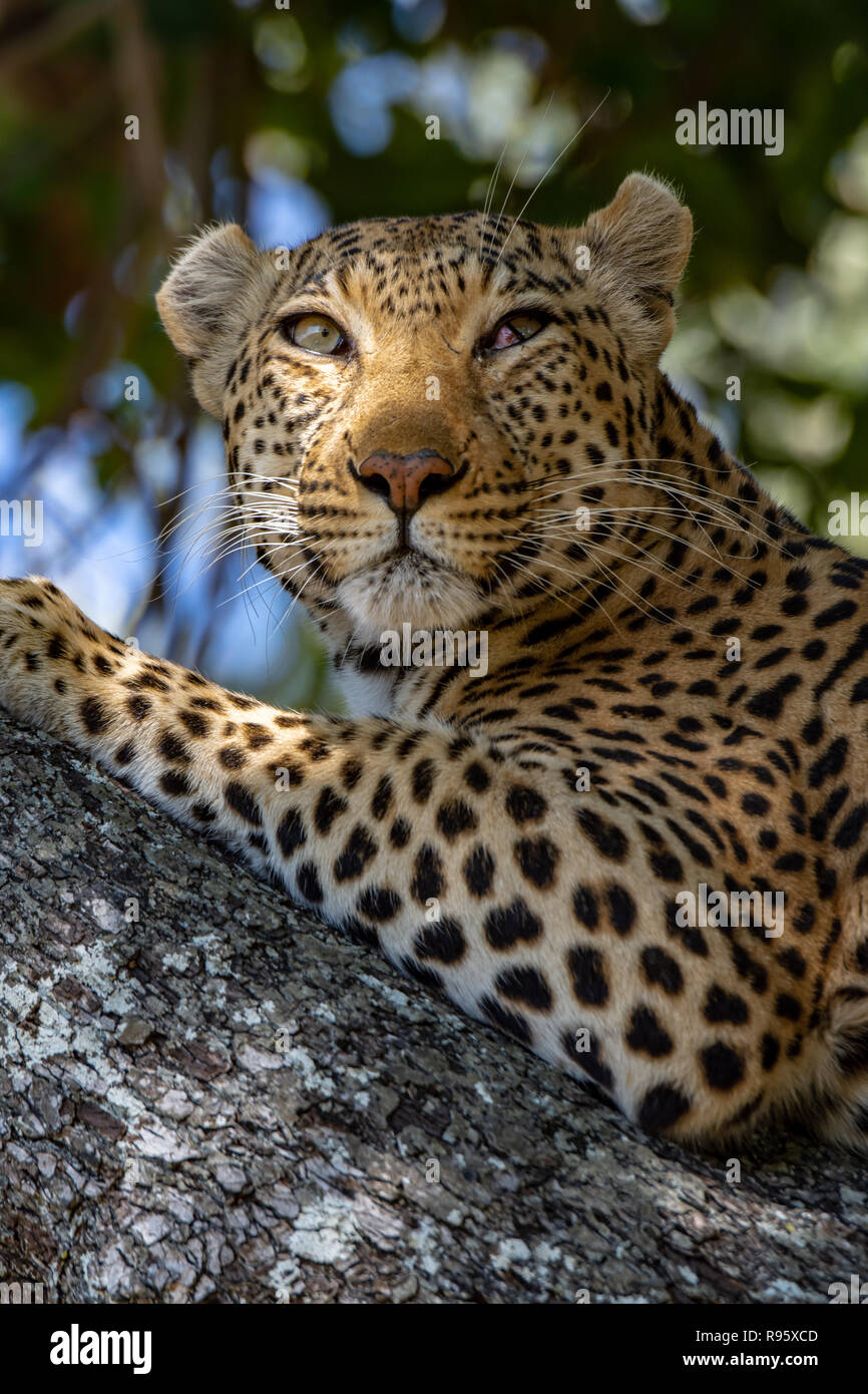 African leopard (Panthera pardus pardus) resting in tree in Botswana. They are on the IUCN Red List and considered Vulnerable. - Stock Image