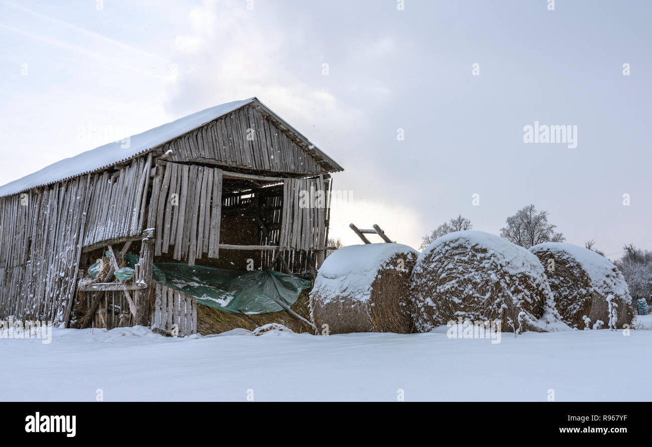 Round bale of straw under the snow on the background of a warped wooden shed - Stock Image