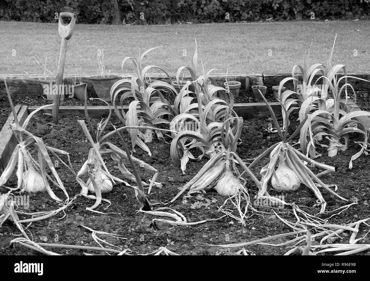 onions growing in an allotment northumberland england - Stock Image
