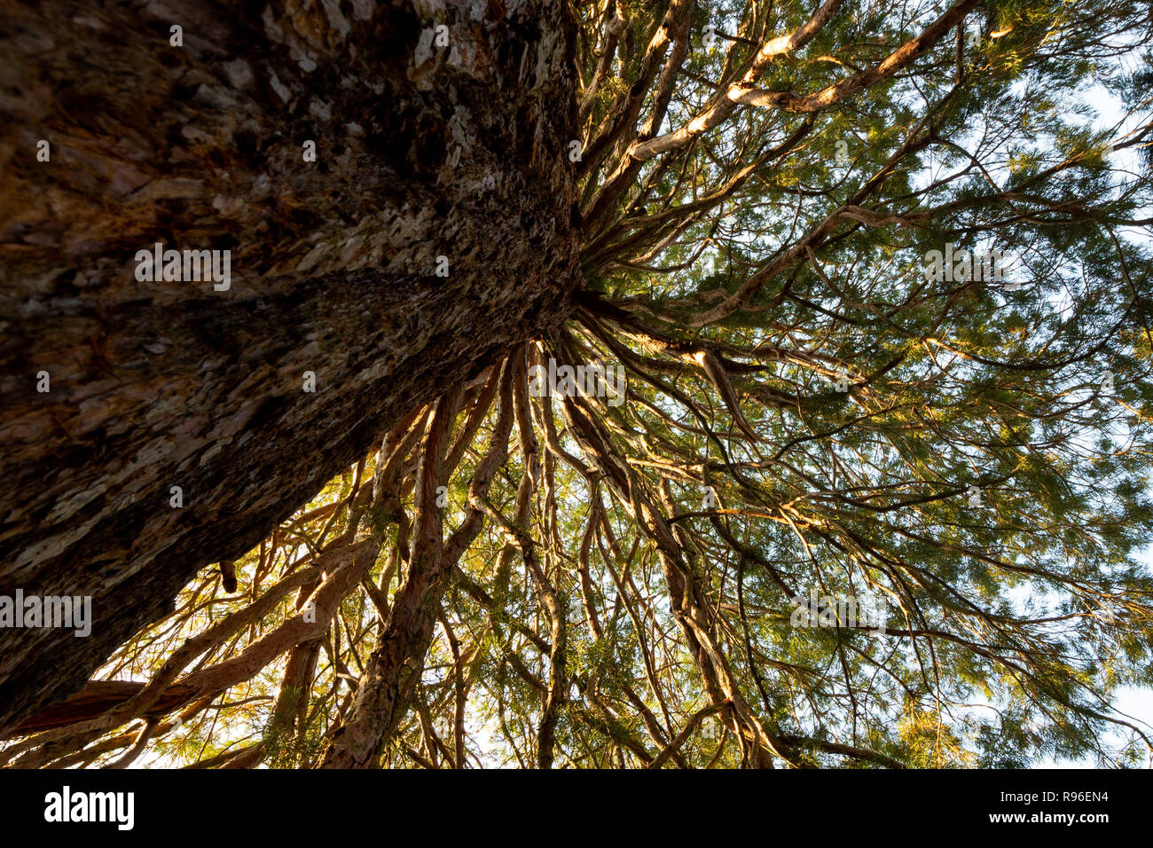 Giant redwood Sequoiadendron giganteum branches photographed from below upwards. Composition of tree trunk and radial branches. Stock Photo