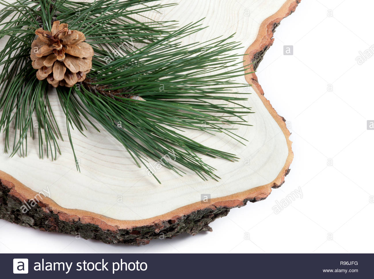 Christmas nature background. Branch of pine with cone on freshly cut of tree. Stock Photo
