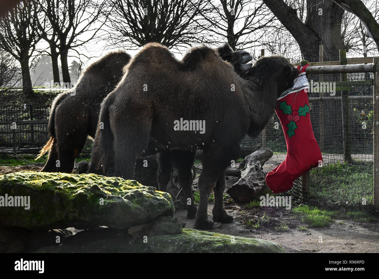 London, UK. 201th Dec, 2018. Lions, gorillas and camels enjoy festive treats Advent-ures this Christmas at ZSL London Zoo on 20 December 2018, London, UK. Credit: Picture Capital/Alamy Live News - Stock Image