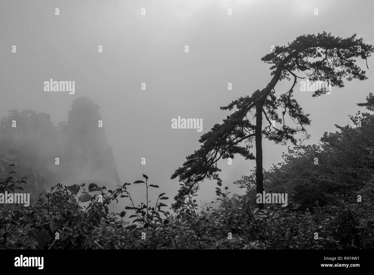 Windblown Huangshan pine in the mists, Huangshan, Anhui, China - Stock Image