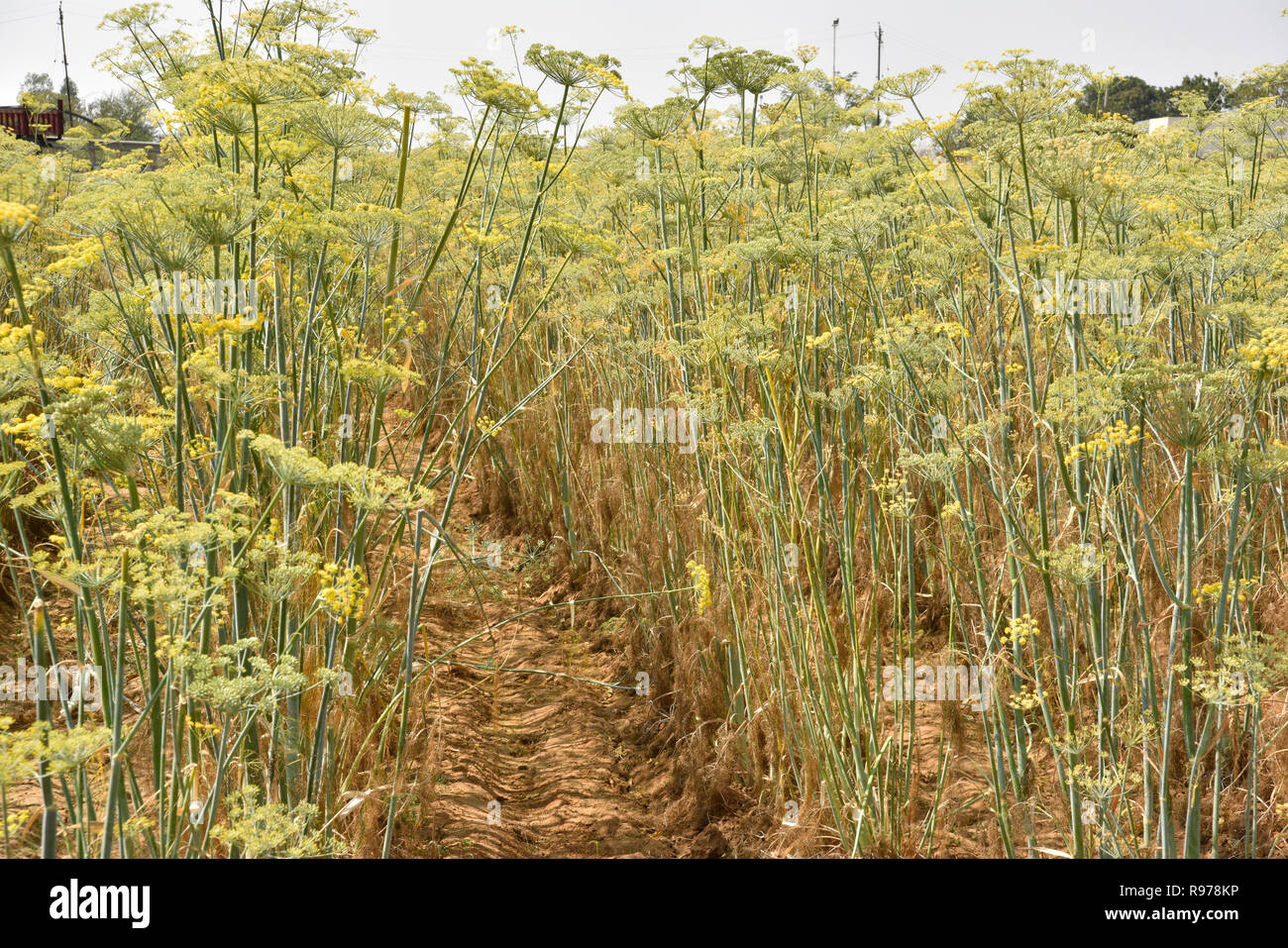 Well organised Pimpinella Anisum aniseed plantation cultivated in Gujarat India known as Variyali used for variety of ailments food spice herbal issue. - Stock Image