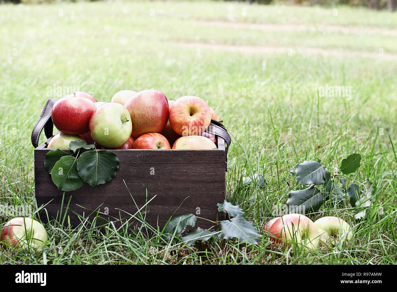 Freshly picked bushel of apples in an old vintage wooden crate with leather handles sitting in the grass at an orchard. Stock Photo