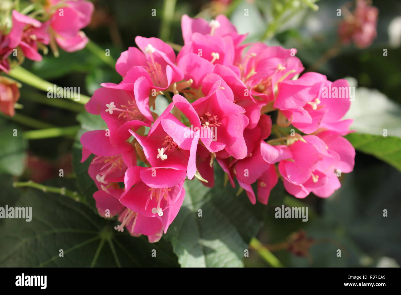 Rare Pink Dombeya, Dombeya calantha, flowering plant at the Think Pink Holiday Flower Show at the Garfield Park Conservatory in Chicago, Illinois. - Stock Image