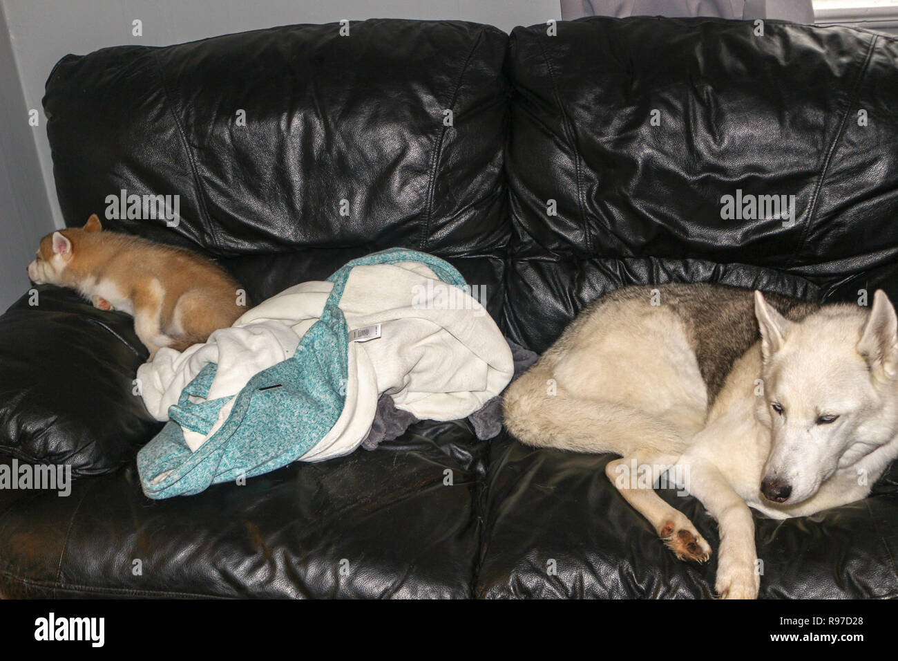Lovely Siberian husky sleeps on a cozy sofa. Cute husky dog curl up in a ball on the master sofa in anticipation of the owner. Concept of a boring pet. - Stock Image