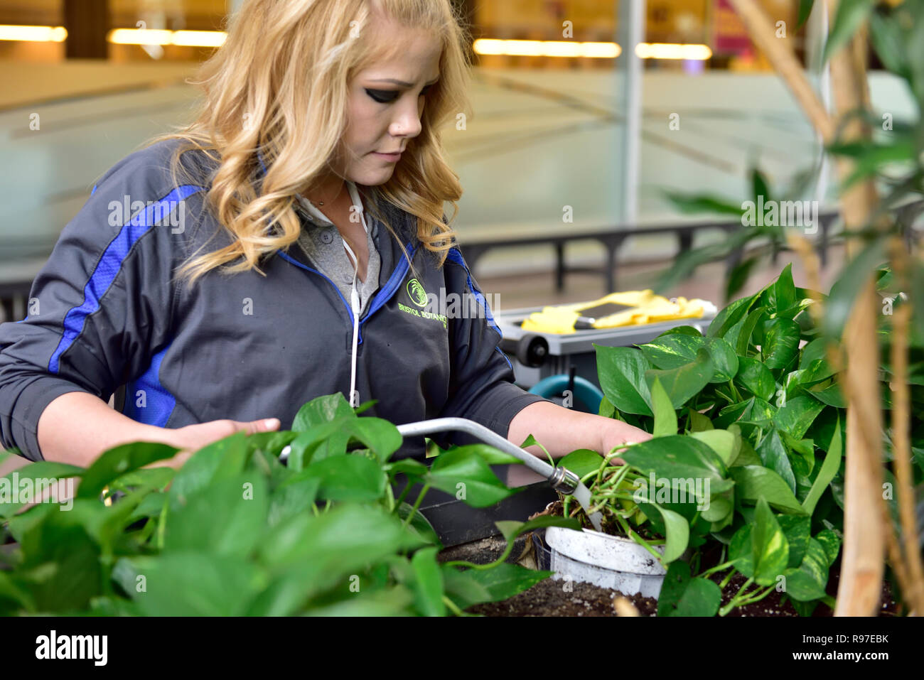 Young woman watering and tending to indoor plants in a commercial building - Stock Image