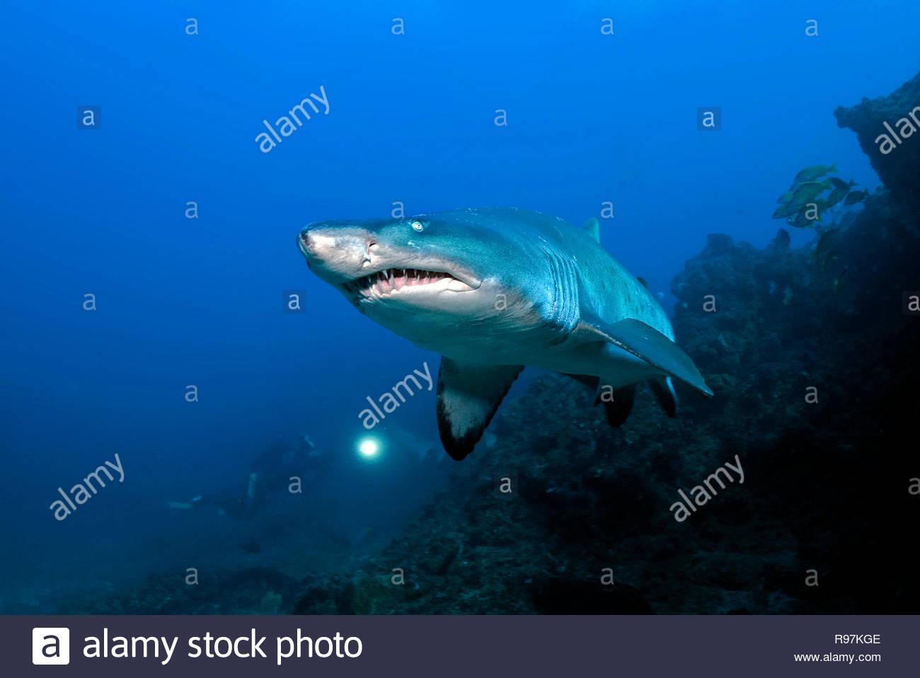 Taucher und Sandtigerhai (Carcharias taurus), Kwazulu-Natal, Südafrika | Scuba diver and Ragged tooth shark or Sandtiger shark (Carcharias taurus), Kw - Stock Image