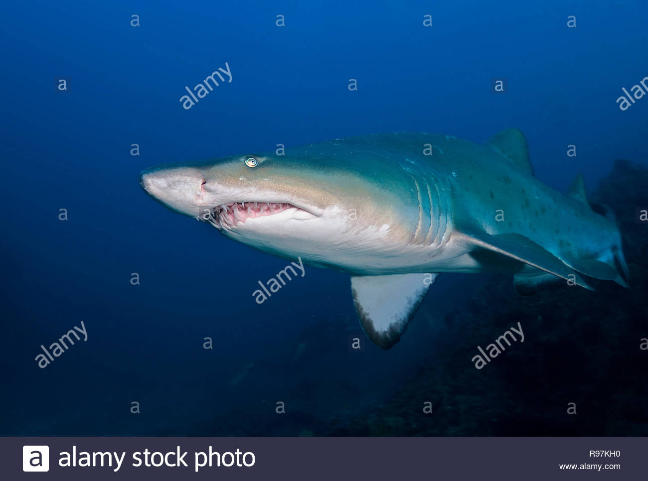 Sandtigerhai (Carcharias taurus), Kwazulu-Natal, Südafrika | Ragged tooth shark or Sandtiger shark (Carcharias taurus), Kwazulu-Natal, South, Africa - Stock Image