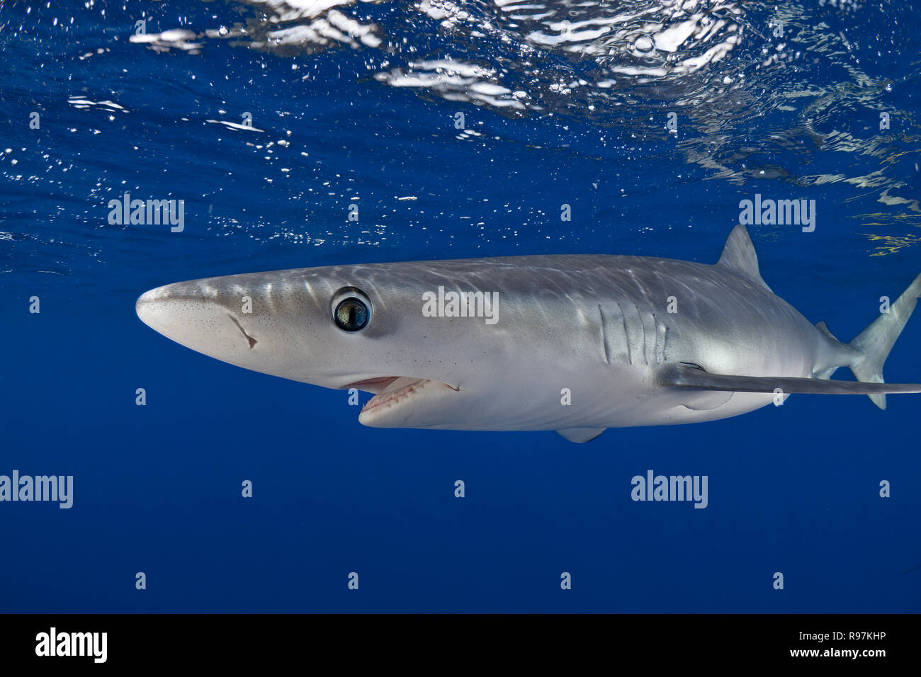 Scuba diver and Blue shark (Prionace glauca) swimming in blue water, Faial, Azores, Portugal Stock Photo