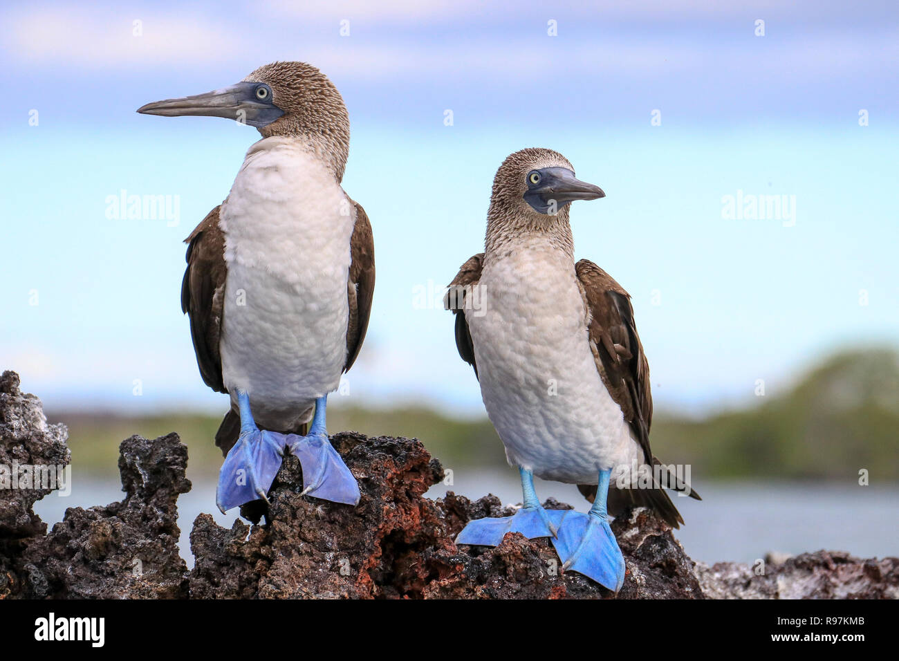Blue-footed Boobies, Isabela Is., Galapagos - Stock Image