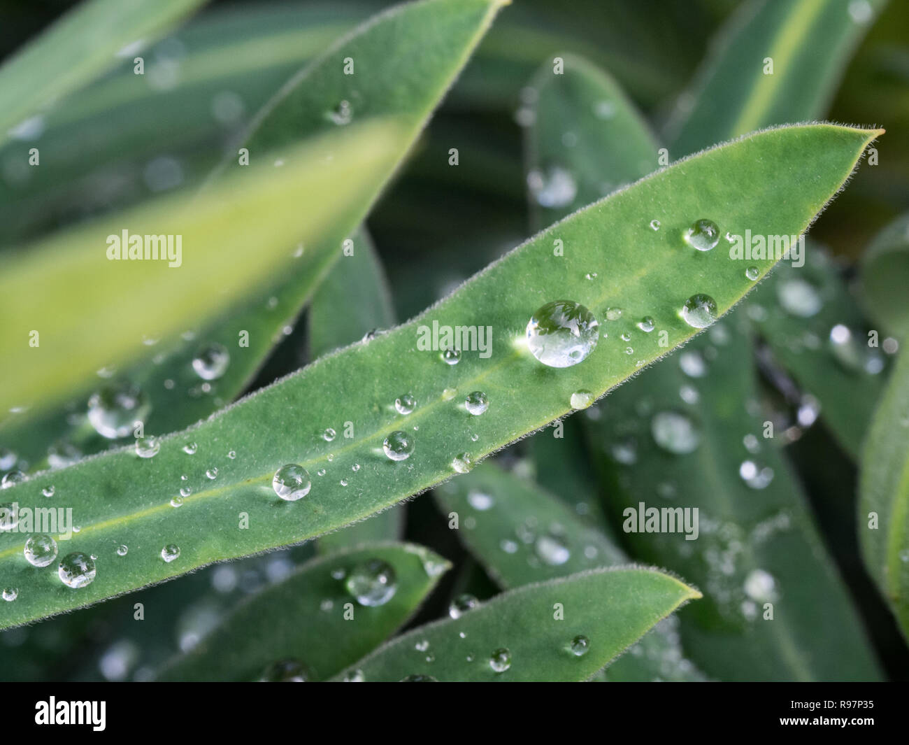 A close up of water droplets on the surface of Euphobia leaves - Stock Image