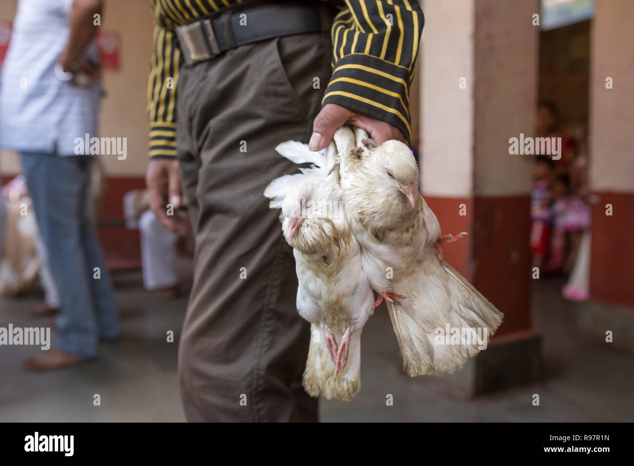 Indian man holding pigeons before sacrificing them in Hindu Kamakhya temple in Guwahati, Assam state, North East India. - Stock Image