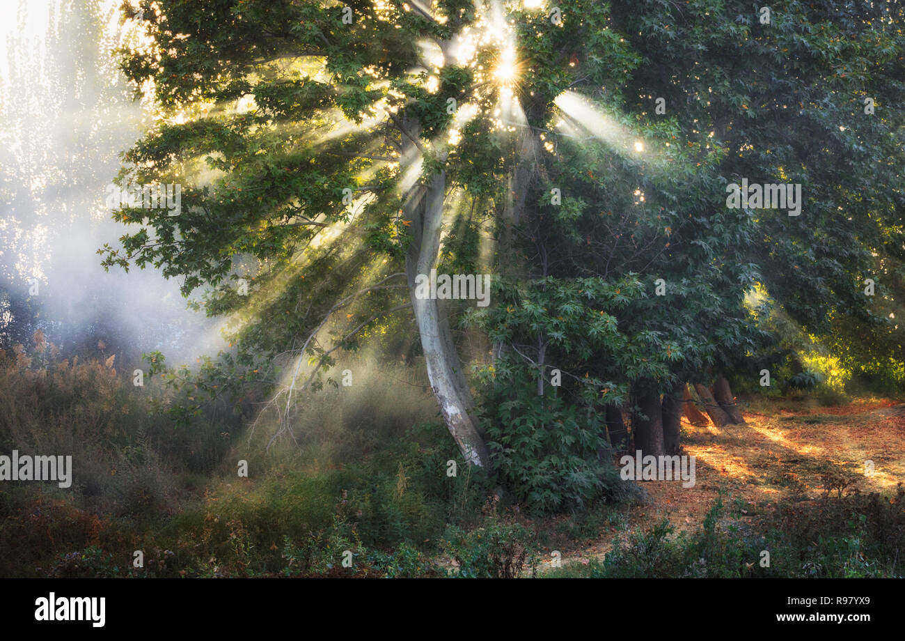 sun rays through trees leaves - Stock Image