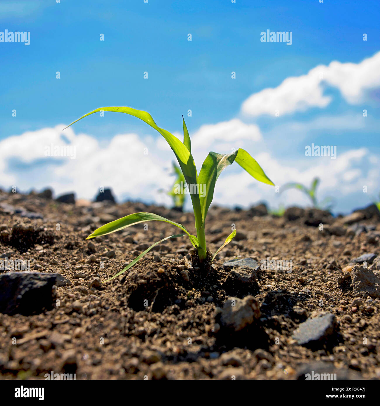 Corn seedling, Auvergne Rhone Alpes, france - Stock Image