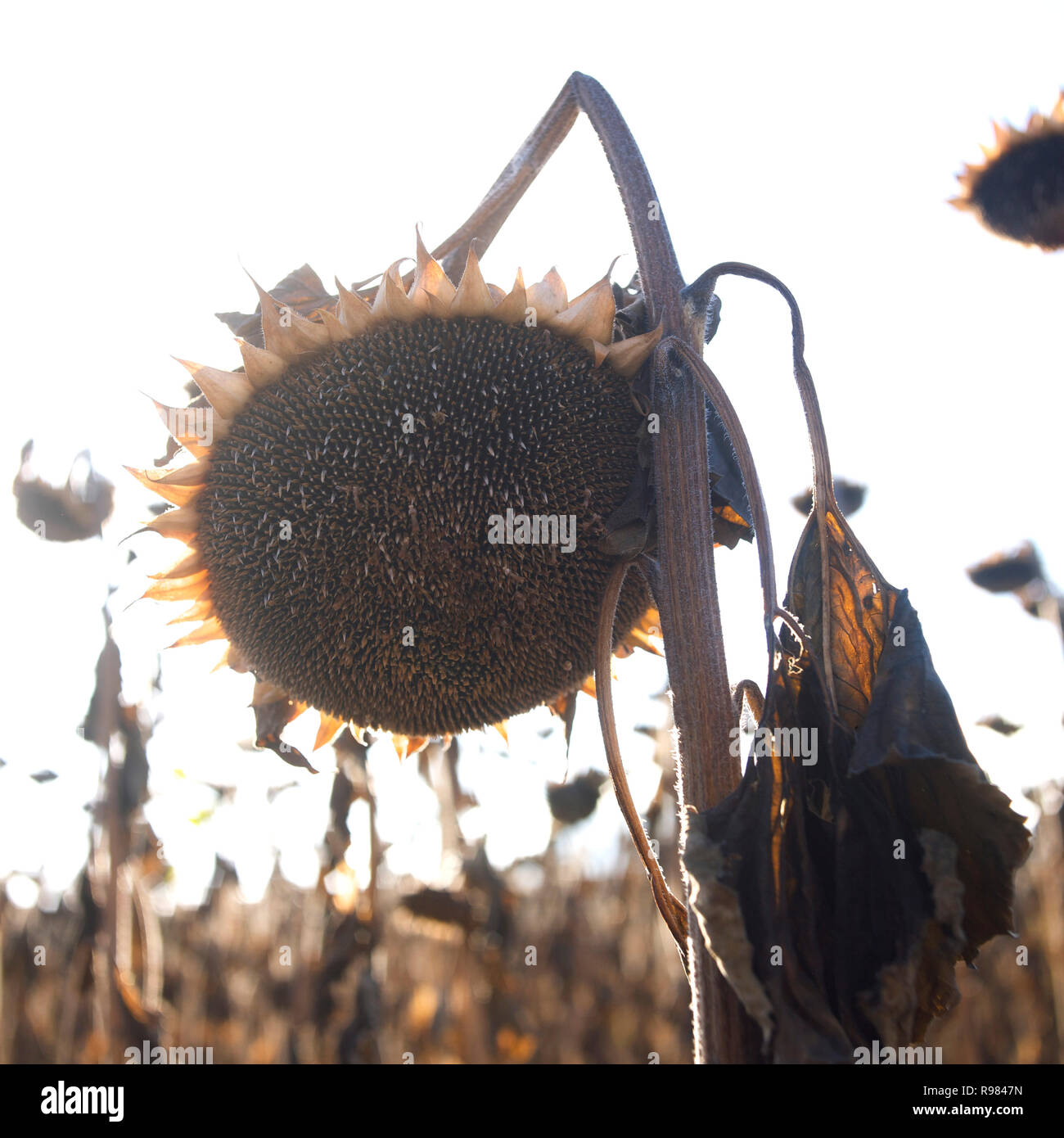 Silhouette of dried up sunflower field, Auvergne, France, Europe Stock Photo