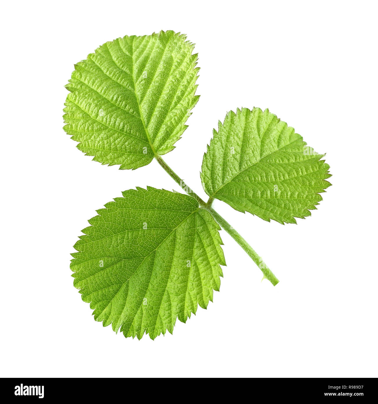 Pictures Of Blackberry Leaves