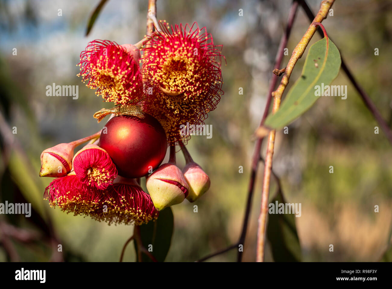 An Australian Christmas, gum nut blossoms and gum nuts with a red Christmas bauble, horizontal - Stock Image