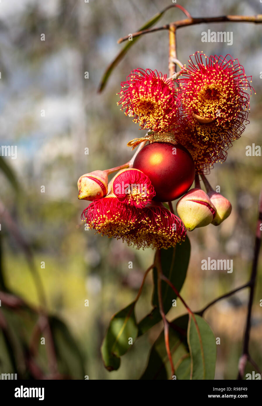 An Australian Christmas, gum nut blossoms and gum nuts with a red Christmas bauble, vertical - Stock Image