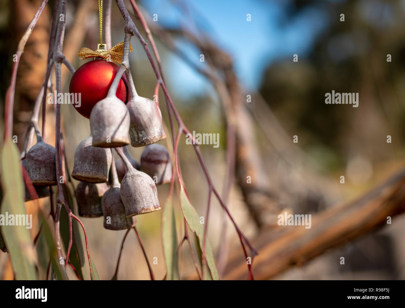 An Australian Christmas, gum tree and gum nuts with a red Christmas bauble, horizontal - Stock Image